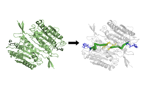 An illustration showing how Ohm can predict an allosteric pathway in a protein.